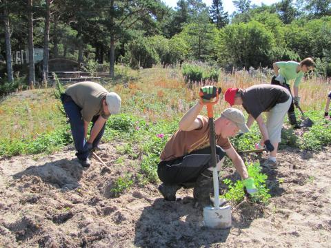 Neljä ihmistä kaivaa käsin ja lapioilla juuria hiekkaisesta maasta.