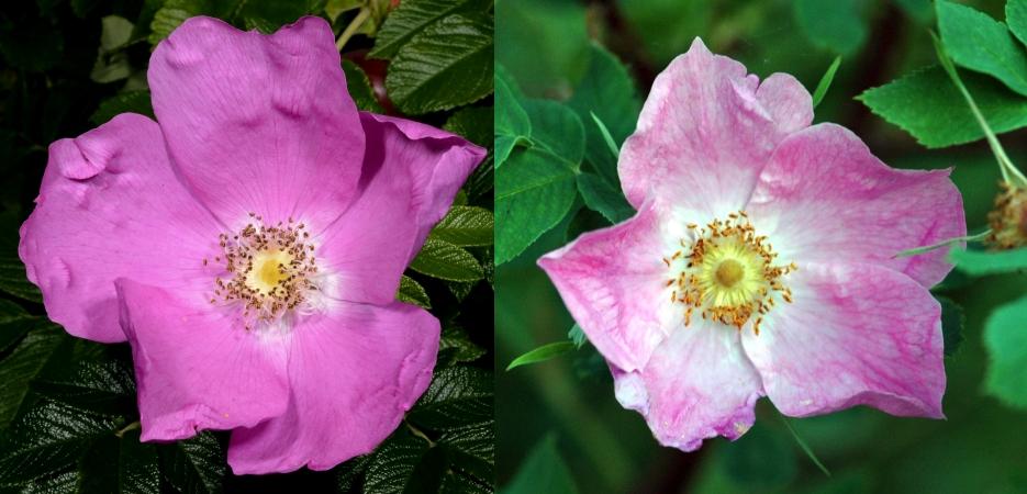 Kurtturuusun ja metsäruusun kukka. Kuvat Jouko Rikkinen CC BY NC 4.0